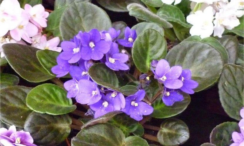 Milton Erickson: violetas africanas