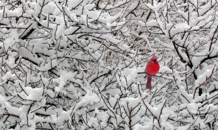 Cardenal rojo en la nuieve