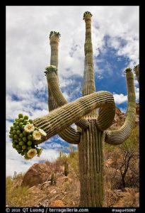 Giant saguaro cactus with flowers on curving arm. Saguaro National Park, Arizona, USA.